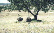 ostriches in Portugal
